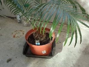 室内植物--铁树