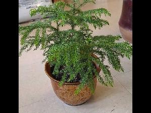 室内植物--南洋杉配陶瓷花盆